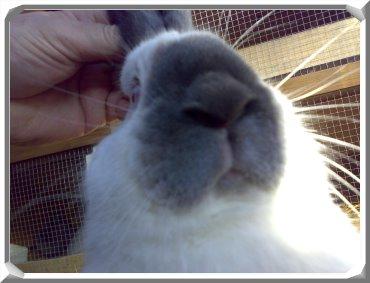 neuseeländer kaninchen kaufen